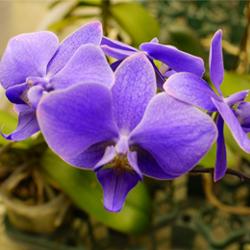 魅せます!「青い胡蝶蘭」