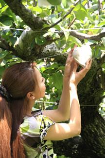 中村農園で梨狩り体験1