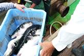 フグ漁解禁