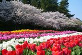 フラワーパークのチューリップと桜