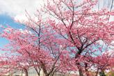 温泉街のかんざんじ桜