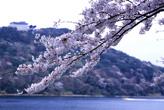 桜&大草山