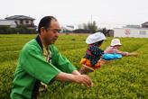 静岡名物茶摘み