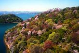 大草山の桜