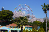 遊園地と桜