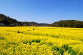 桶ヶ谷沼菜の花畑
