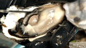 浜名湖産の牡蠣