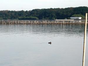 牡蠣の養殖風景「牡蠣棚」| 浜名湖かんざんじ温泉観光協会