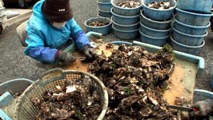牡蠣の殻剥き作業