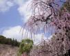 奥山高原・昇竜しだれ梅