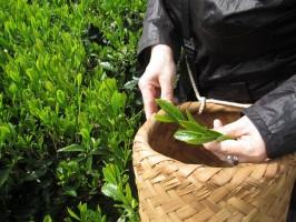 お茶摘み 根洗松銘茶 002
