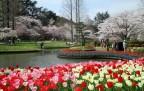 桜とチューリップはままつフラワーパーク)