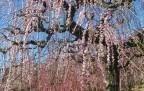 大草山しだれ梅