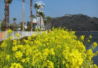 パルパル東岸 菜の花H27.2 (2)