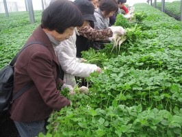 H23ミツバ摘み取り 大久保園芸 003