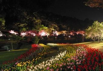 夜桜(チューリップ入り)040415